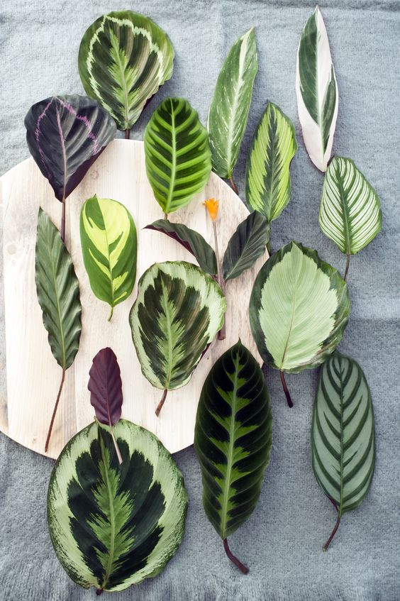 calatea-patterned-plants-trend-2018-decor